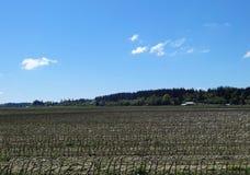 Um campo de milho na mola adiantada Imagens de Stock