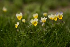 Um campo de pansies amarelos imagem de stock royalty free