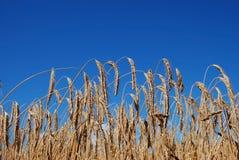 Um campo de trigo Imagem de Stock Royalty Free