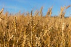 Um campo de trigo Imagem de Stock