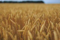 Um campo de trigo Fotografia de Stock