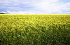 Um campo de trigo amarelo, verde bonito, contra um fundo do céu azul foto de stock royalty free
