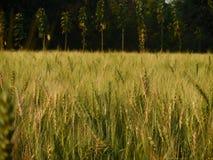 Um campo de trigo bonito em uma vila fotos de stock royalty free