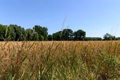 Um campo de trigo dourado foto de stock