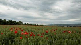 Um campo de trigo entre que as flores das papoilas são picadas no vento e nas nuvens passa perto vídeos de arquivo