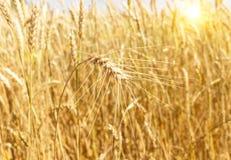 Um campo de trigo Orelhas do close up dourado do trigo Paisagem rural da natureza bonita sob a luz solar brilhante Imagens de Stock
