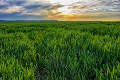 Um campo de trigo verde novo Imagem de Stock