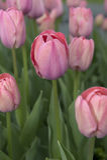 Um campo de tulipas cor-de-rosa Foto de Stock