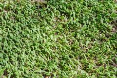 Um campo do alho selvagem no mais forrest Foto de Stock