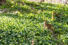 Um campo do alho selvagem no mais forrest Fotos de Stock Royalty Free