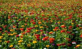 Um campo do arco-íris na flor completa fotos de stock royalty free