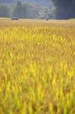 Um campo do arroz em China Foto de Stock Royalty Free