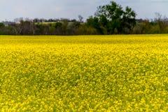 Um campo do Canola de florescência amarelo brilhante bonito imagem de stock