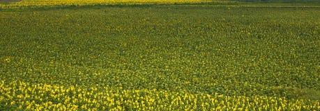 Um campo do girassol Imagem de Stock
