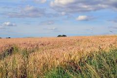 Um campo do milho Imagem de Stock Royalty Free