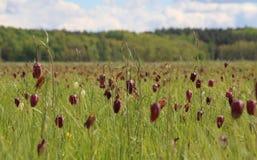 Um campo do snake& vermelho x27; cabeças de s & x28; Meleagris& x29 do Fritillaria; com profundidade de campo rasa Imagem de Stock