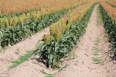 Um campo do sorghum perto da colheita Fotos de Stock Royalty Free