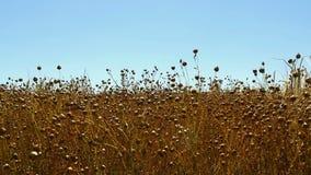 Um campo do trigo mourisco que brilha no sol O close-up do trigo mourisco, pronto para a colheita a câmera aumenta sobre o campo  video estoque