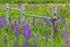 Um campo do verão de lupines roxos com uma cerca de madeira deteriorada foto de stock