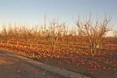 Um campo dos caquis com fruto na terra foto de stock royalty free
