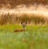 Um campo dos cervos de Whitetail Fotos de Stock Royalty Free