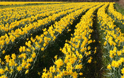 Um campo dos daffodils na flor, Imagens de Stock