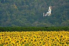 Um campo dos girassóis com a estátua branca de buddha, Tailândia foto de stock