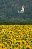Um campo dos girassóis com a estátua branca de buddha, Tailândia Imagem de Stock Royalty Free