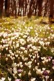 Um campo dos snowdrops Imagem de Stock Royalty Free