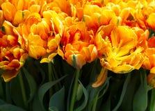 Um campo dos tulips Imagem de Stock