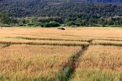 Um campo dourado do arroz foto de stock