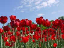 Um campo enorme de tulipas vermelhas de florescência contra um céu azul com nuvens brancas Fotografia de Stock Royalty Free