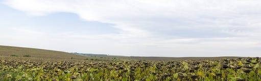 Um campo infinito dos girassóis fotografia de stock royalty free
