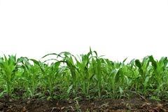 Um campo verde do milho Fotos de Stock Royalty Free