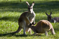 Um canguru do canguru no mum   Imagens de Stock Royalty Free