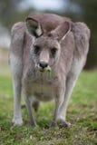 Pastando o canguru Imagens de Stock