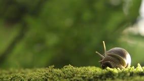 Um caracol da uva em um musgo verde gerencie lentamente sua cabeça video estoque