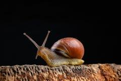 Um caracol pequeno do caracol em uma parte de madeira Caracol lentamente de rastejamento com uma casa na parte traseira imagem de stock