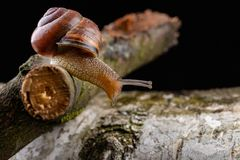 Um caracol pequeno do caracol em uma parte de madeira Caracol lentamente de rastejamento com uma casa na parte traseira fotos de stock