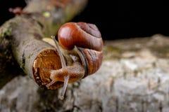 Um caracol pequeno do caracol em uma parte de madeira Caracol lentamente de rastejamento com uma casa na parte traseira foto de stock