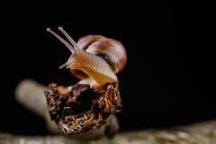 Um caracol pequeno do caracol em uma parte de madeira Caracol lentamente de rastejamento com uma casa na parte traseira fotografia de stock