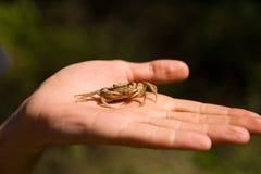 Um caranguejo de água doce que encontra-se em uma palma do ` s do homem Tiro do close up Foto de Stock
