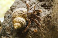 1 um caranguejo de eremita que rasteja em uma rocha fotos de stock