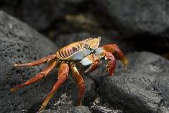 Um caranguejo de Sally Lightfoot no console de Galápagos Imagens de Stock