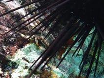 Um caranguejo do diabrete sob um diabrete de mar longo da espinha Foto de Stock