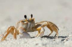 Um caranguejo do fantasma na areia ao longo da passagem de Wiggins, Florida fotos de stock