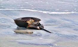 Um caranguejo em ferradura Imagens de Stock Royalty Free