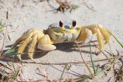 Um caranguejo na praia, caranguejo atlântico do fantasma, quadrata de Ocypode Ilha de Galveston, Texas Gulf Coast, Golfo do Méxic imagens de stock