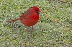 Um cardeal vermelho em uma tempestade de gelo. Foto de Stock Royalty Free
