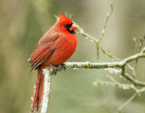 Um cardeal vermelho tem o gelo em suas penas de cauda em uma tempestade de gelo. imagem de stock